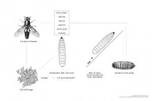 Die Metamorphose der schwarzen Soldatenfliege Bild: Katharina Unger / Universität für angewandte  Kunst Wien