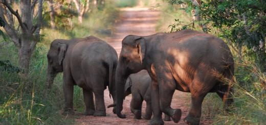 BILD: WWF/ Wild asian elephants, Kui Buri National Park, Thailand