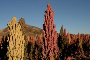 Quinoapflanzen in Blüte Bild: EZA Fairer Handel/Manfred Wimmer