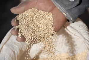 Die Samenkörner der Quinuapflanze sind wahre Kraftkammern. Bild: EZA Fairer Handel/Manfred Wimmer