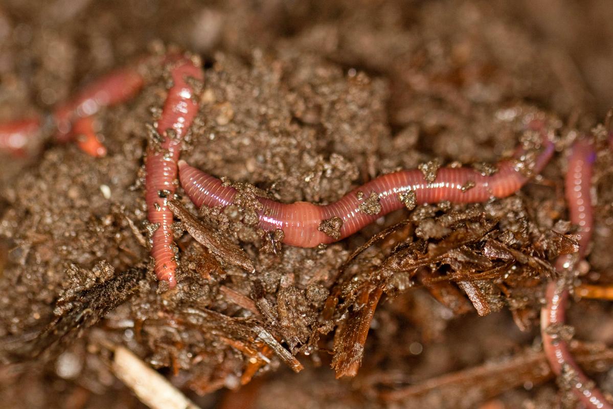 fressen regenwürmer wurzeln