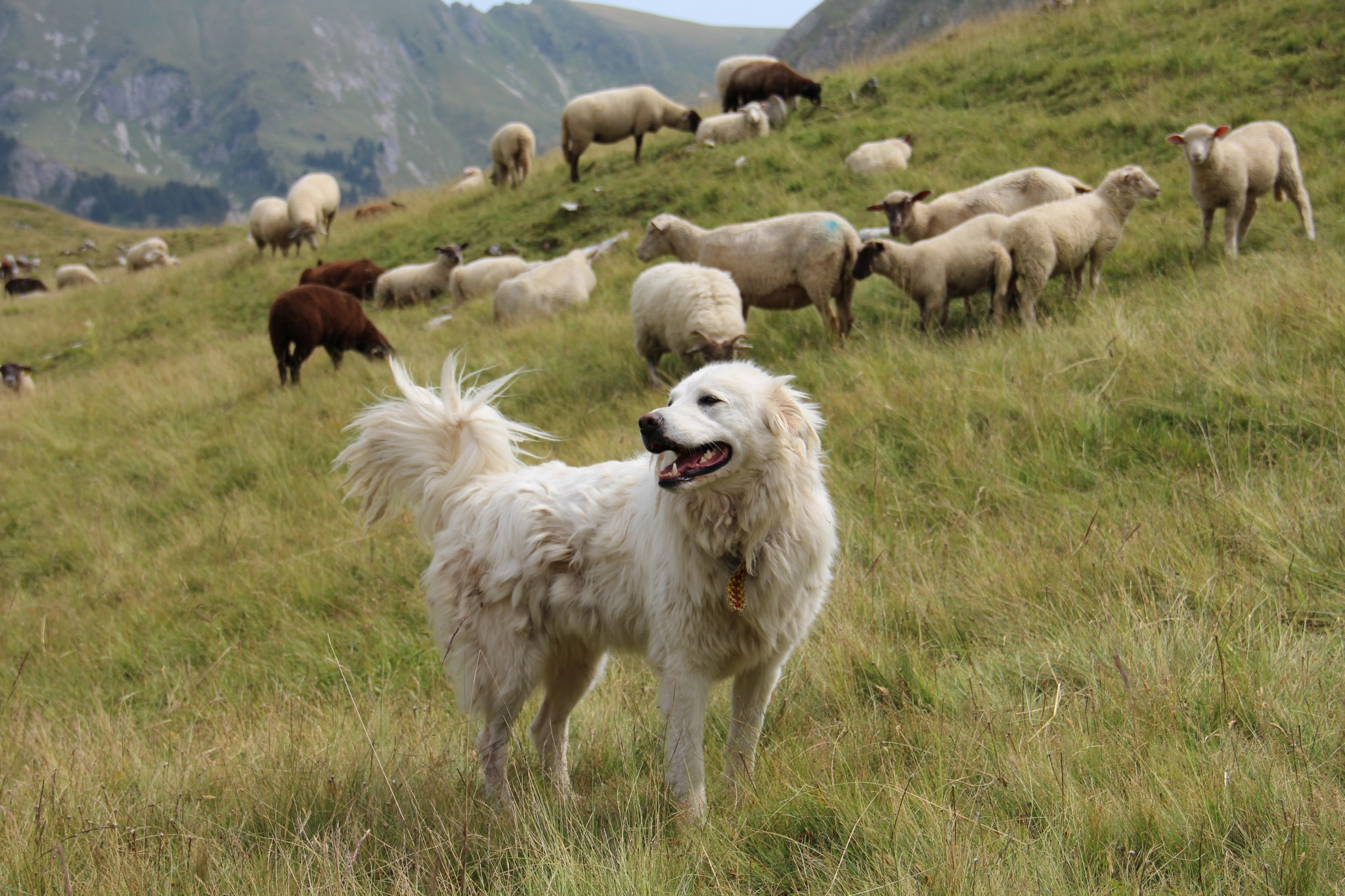 Herdenschutzhunde Gegen Wölfe