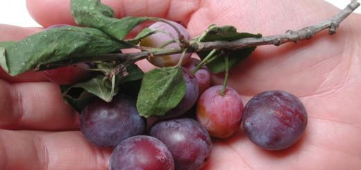 Kriecherl Frucht