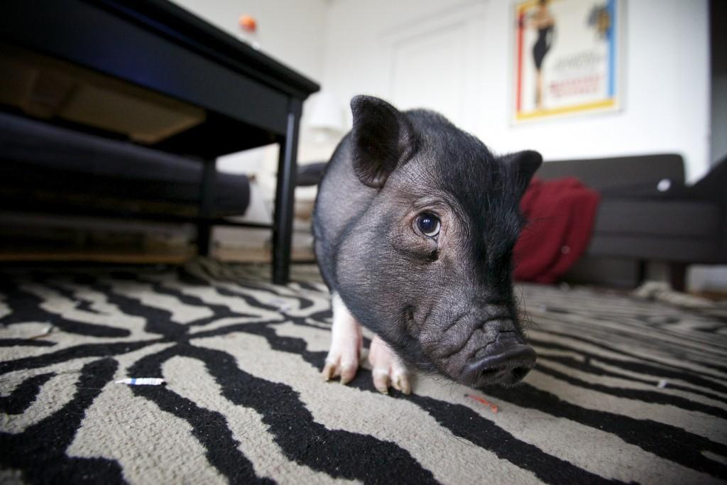 Warum Es Möglicherweise Keine Gute Idee Ist Ein Minischwein Zu