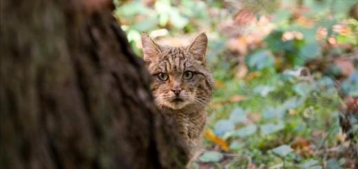 Wildkatze-hinter-Baum_klein