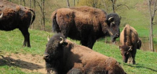 Bisons im Biosphärenpark, fotografiert von Leo Raimann