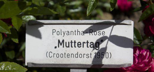 "Polyantha-Rose ""Muttertag"" (Bild: Patrick Nouhailler / CC BY-SA 2.0)"