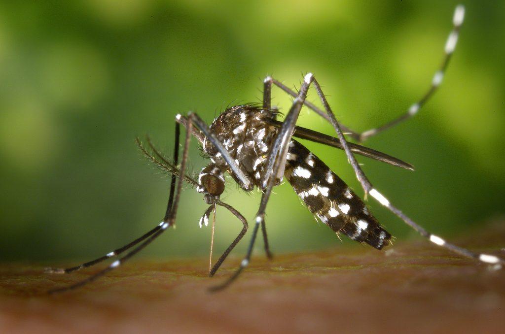 Stechmücken sind Wirte und übertragen die Larven der Fadenwürmer (Bild: Centers for Disease Control and Prevention's Public Health Image Library)