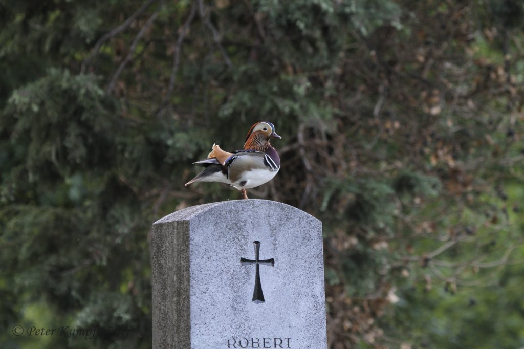 Eine Mandarinente auf einem Grabstein.