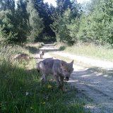 Zu Gesicht bekommt man den scheuen Wolf kaum einmal. Auch der Nachwuchs wurde in Allentsteig bislang nur mittels Wildkameras nachgewiesen. (Foto: BMLVS)