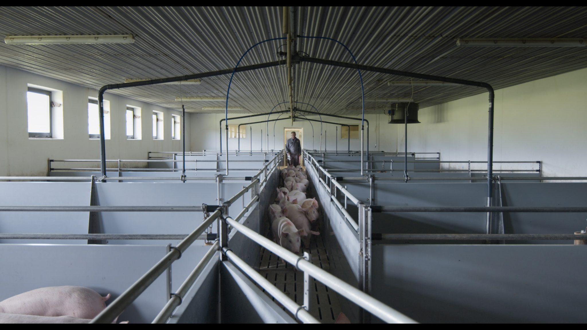 Hochspezialisiert auf Schweinemast: Bauer Martin Suette treibt die nächste Schweinegeneration in den Stall. Gewichtszunahme und Futtermengen sind genauestens geplant. (Foto: Allegro Film)