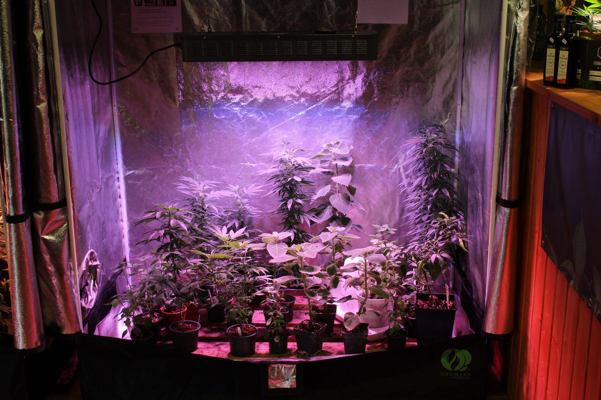 Hanfpflanze Beleuchtung | Krumme Gurken Bio Grow Und Marchfelder Cannabis Biorama