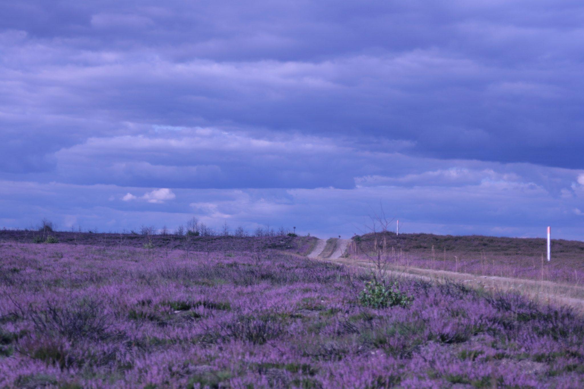 Auch in den Heidelandschaften Niedersachsens fühlt sich der Wolf wohl. (Foto: Theo Gruentjens)
