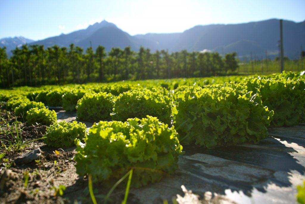 Auf den Feldern des Valentinhofs wächst Lollo-Salat. (Bild: Lukas Unterhofer)