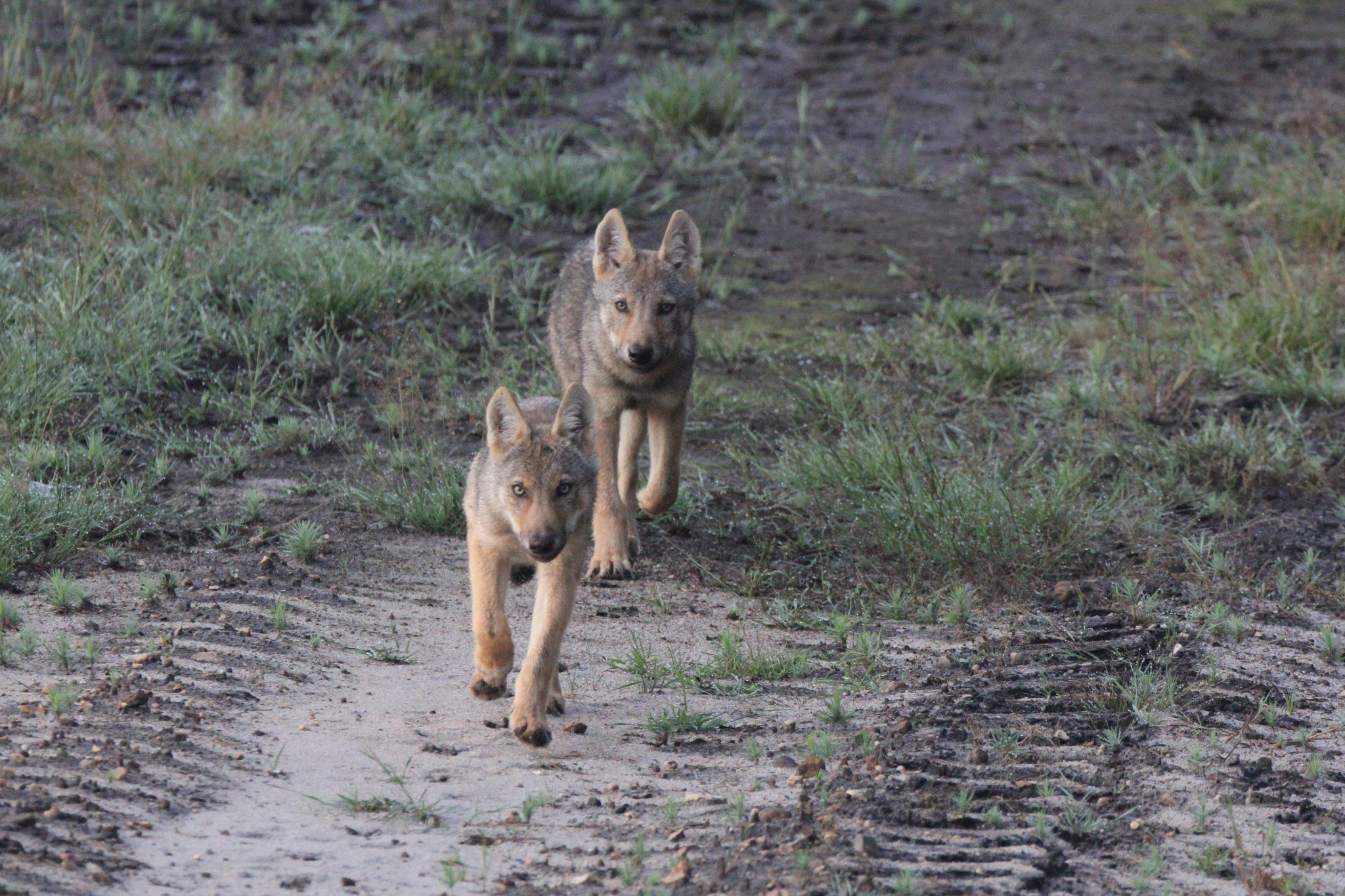 Bereits neun Wolfsrudel gibt es allein in Niedersachsen. Im Rahmen einer gemeinnützigen Biosphere Expedition sollen nun Laienforscher Daten über ihr Verbreitungsgebiet sammeln. (Foto: Theo Gruentjens)