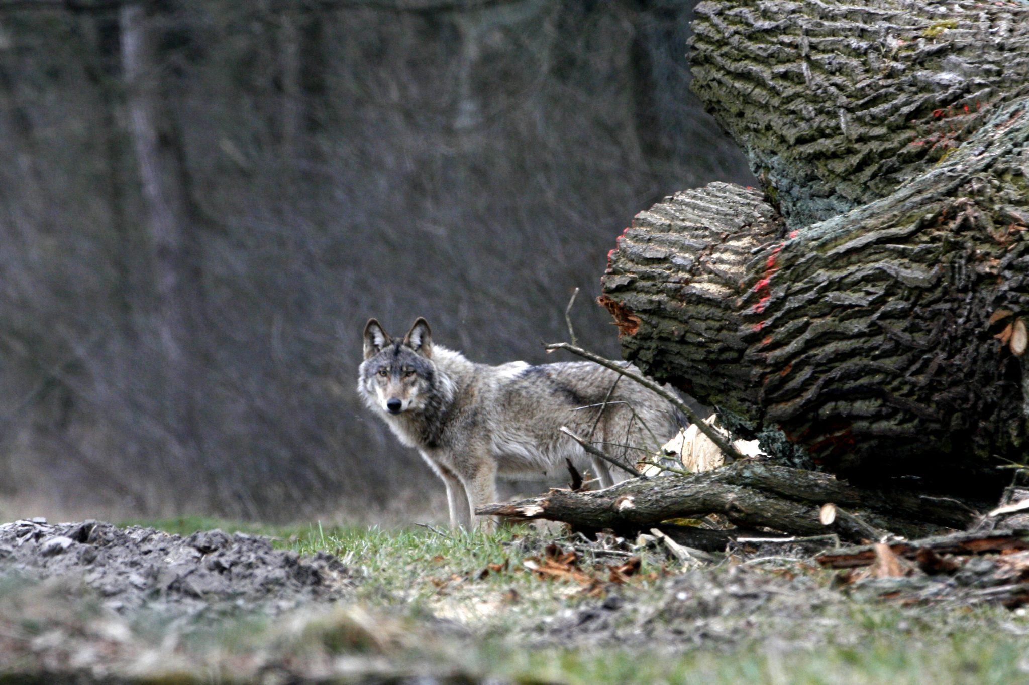 Obgleich scheu sorgt die Rückkehr des Wolfes vielerorts für Verunsicherung. Das anpassungsfähige Raubtier, aber auch extensive Tierhalter braucht das Engagement von Umweltschützern.