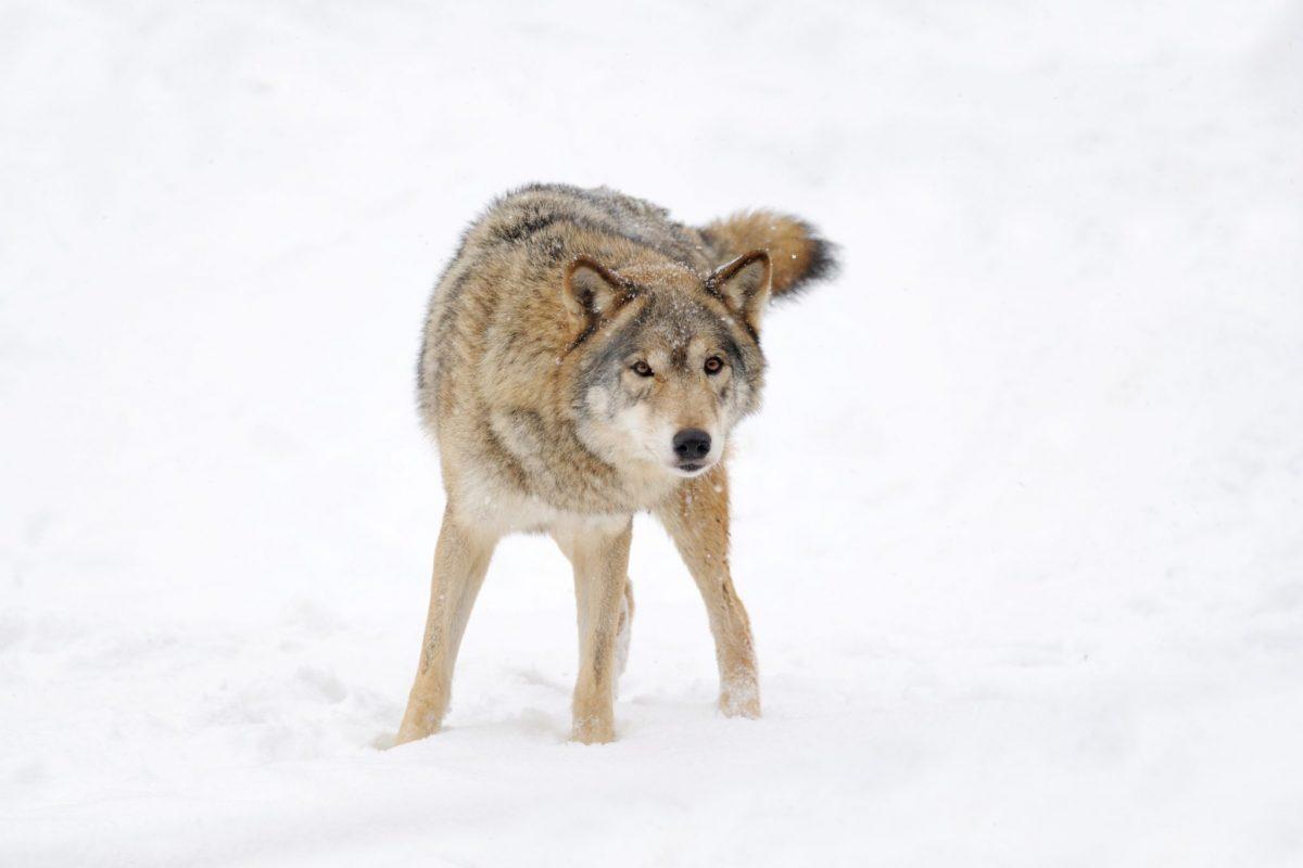 was tun wenn ich beim spazierengehen einem wolf begegne. Black Bedroom Furniture Sets. Home Design Ideas