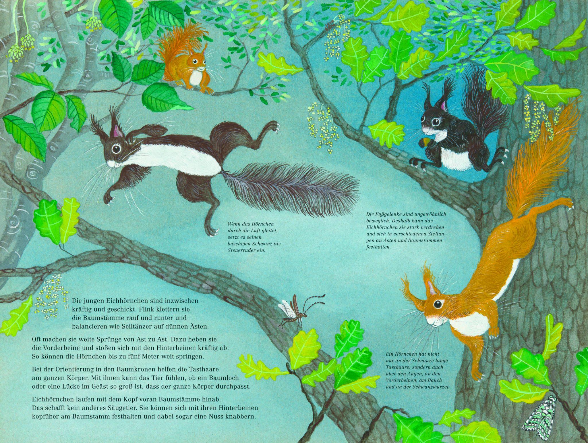 eichhörnchenkunde für kinder  biorama