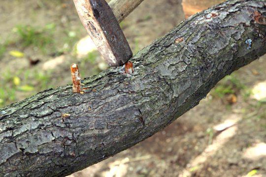 An Impfmethode für Baumstämme gibt es die Schnittimpfmethode, die Dübelbeimpfung und die Holzstubben-Beimpfung.