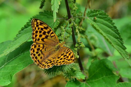 Schmetterlinge fühlen sich in der Nähe von Brennesseln wohl.