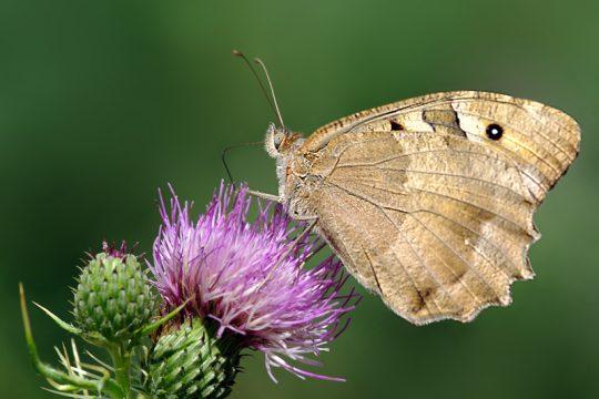 Die Schmetterlingsapp wurde von Global 2000 und Blühendes Österreich ins Leben gerufen.