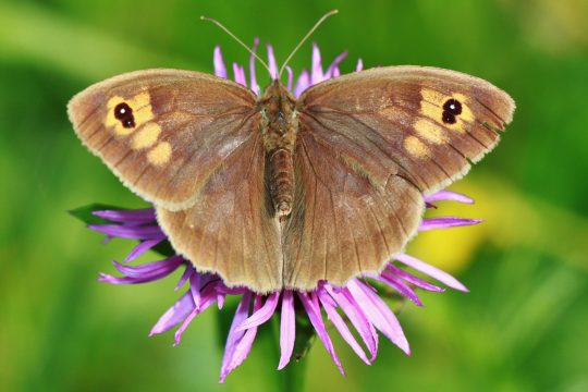 Wenn man Schmetterlinge in den Garten locken will, sollte man seltener mähen.