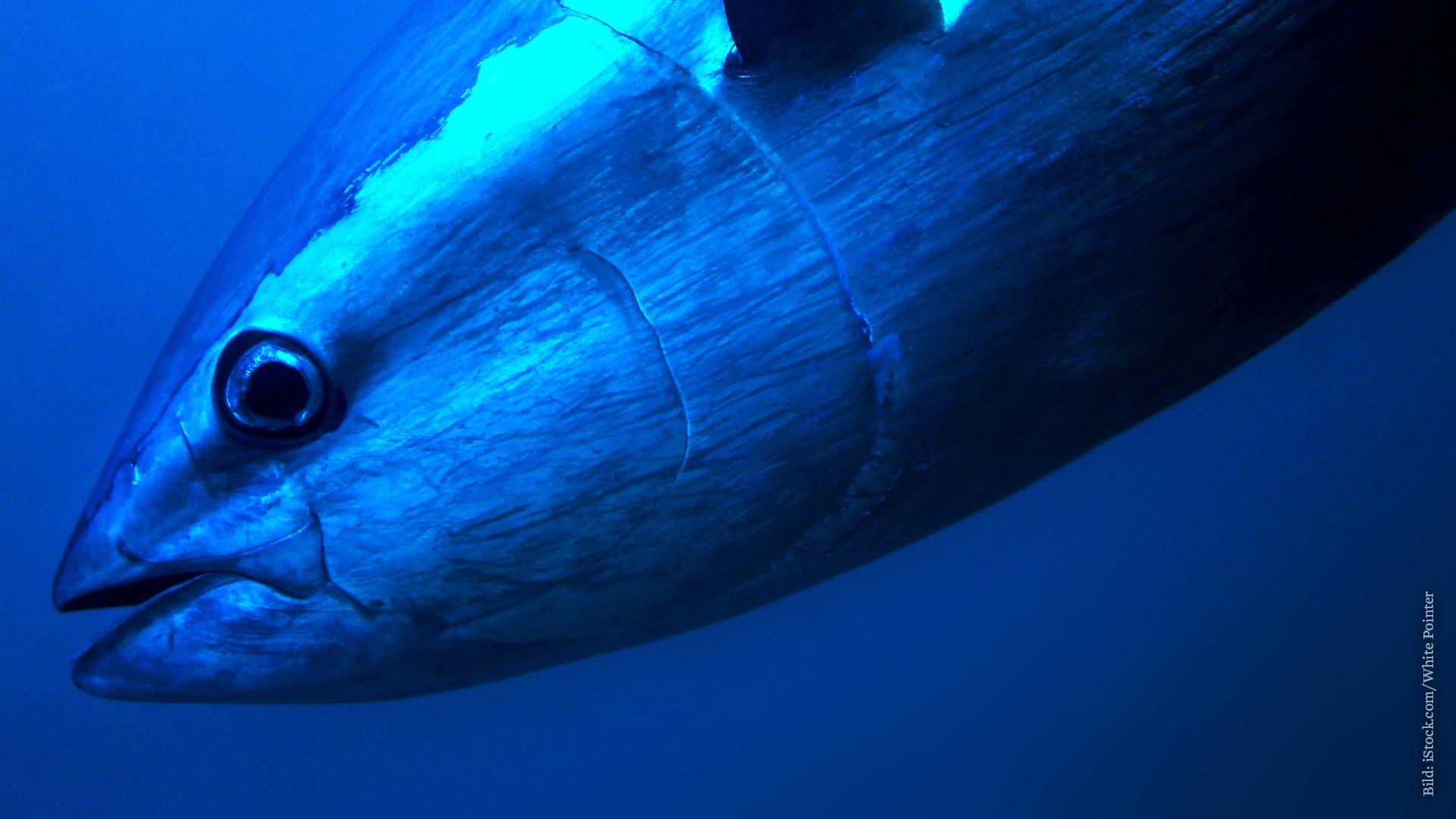 Thunfisch Stillen